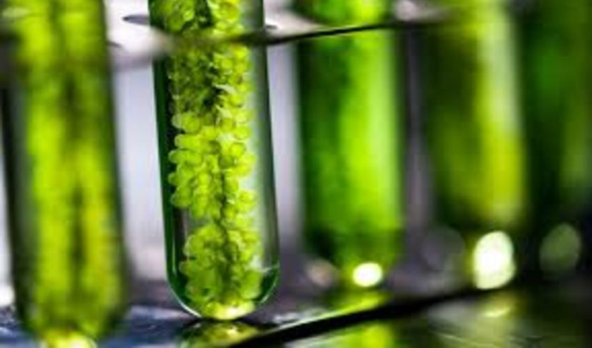 Algen Biotinte