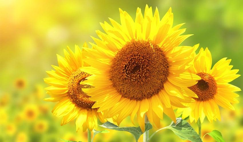 Sunflower pollen used as 3D printable bio-ink