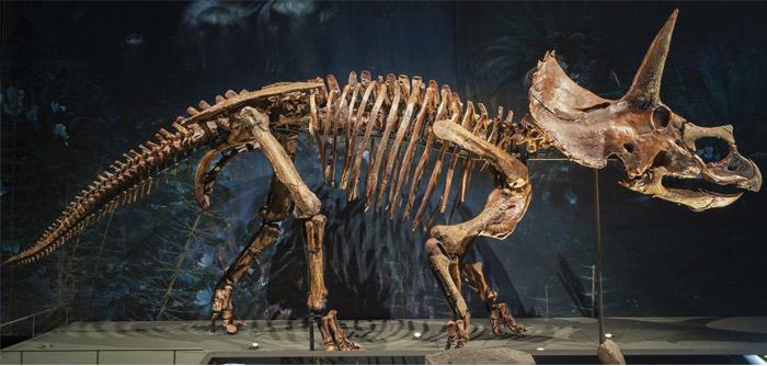 reconstructing dinosaur skeleton