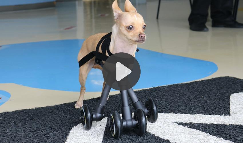 chihuahua impresión 3D